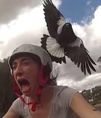 magpieswoop